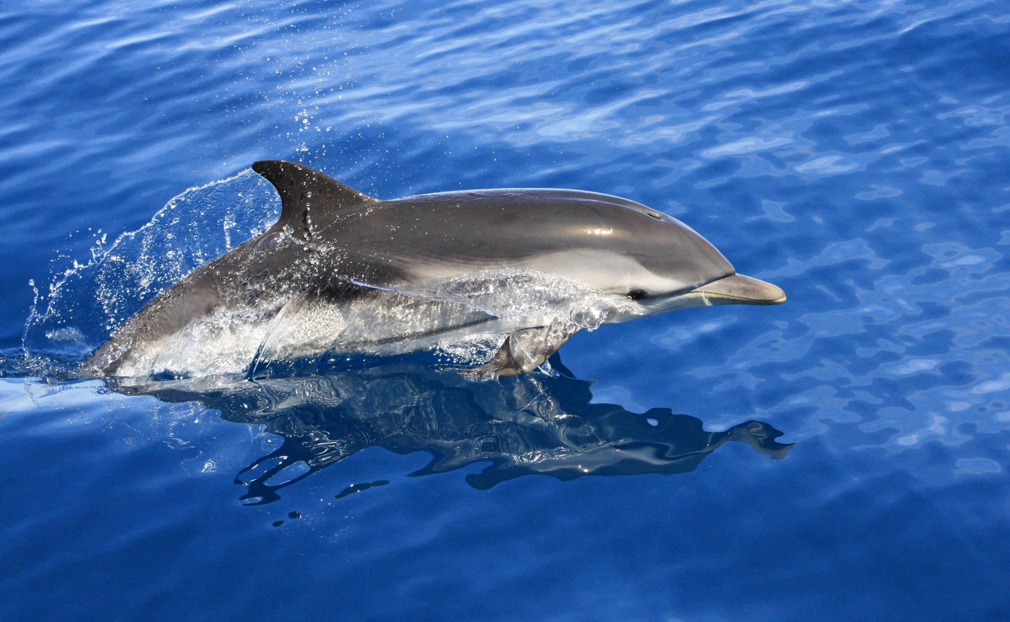 Delfín listado