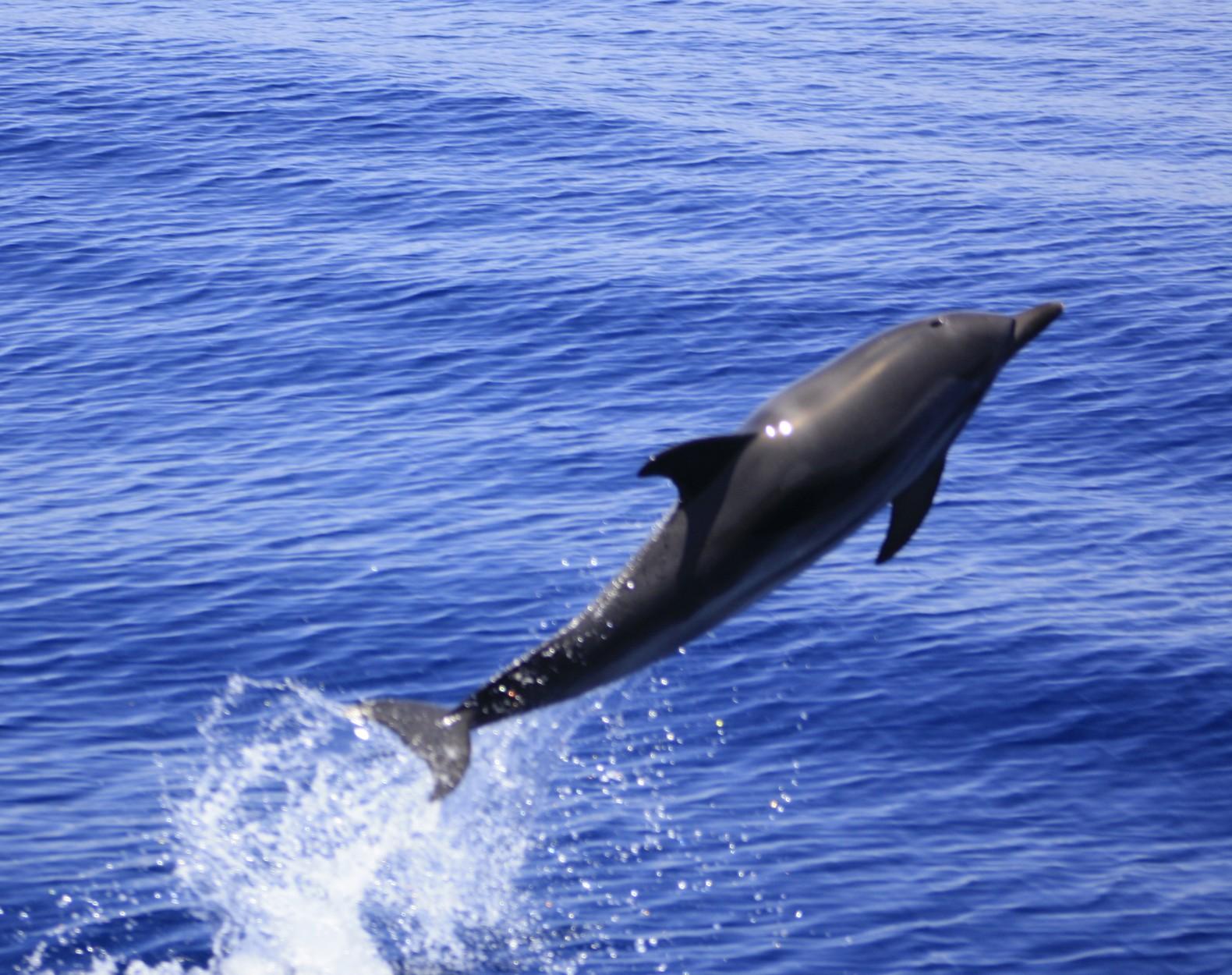 delfin listado saltando